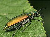 Lytta vesicatoria - The Spanish Fly