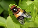 More Syrphidae