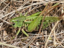 Click to toggle Tettigoniinae