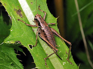 Pholidoptera griseoaptera Dark bush-cricket x